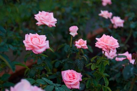 王子の秋バラ-3