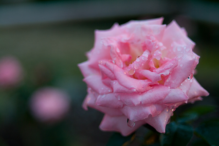 王子の秋バラ-4