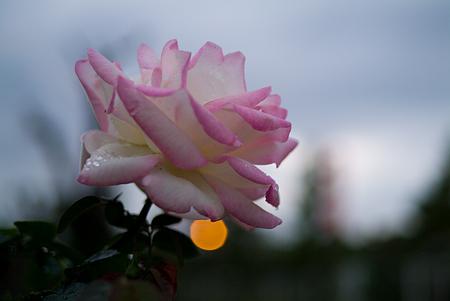 王子の秋バラ-5