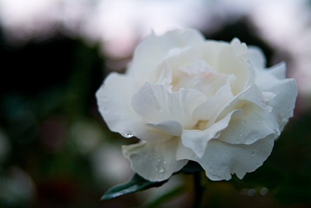 王子の秋バラ-8