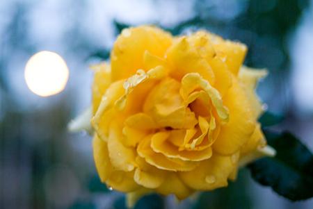 王子の秋バラ-9