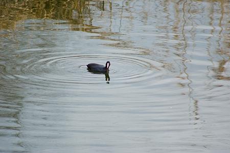 雨池鳥撮り-9