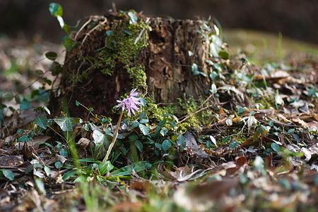 松平郷の花-2
