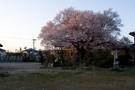 覚成寺の桜-2