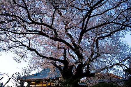 覚成寺の桜-3
