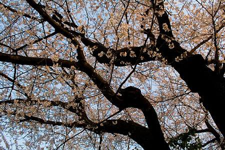 覚成寺の桜-4