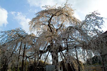 金剛寺のしだれ桜-1
