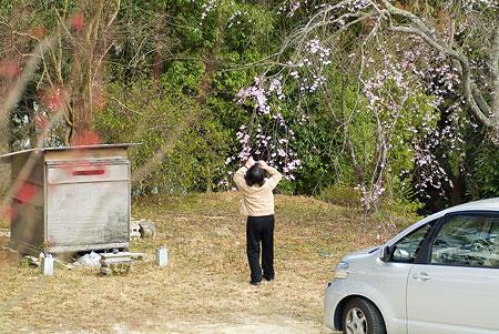金剛寺のしだれ桜-10