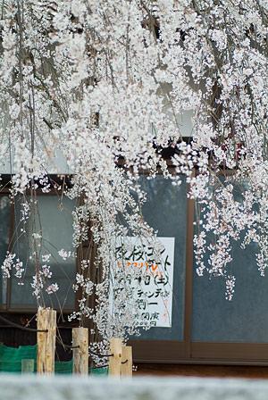 金剛寺のしだれ桜-11