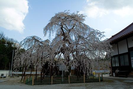 金剛寺のしだれ桜-2
