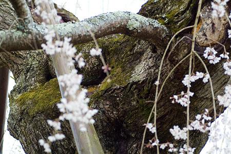 金剛寺のしだれ桜-9