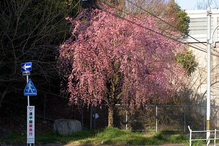 近所桜3月-2