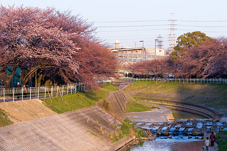 近所桜3月-9