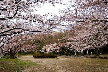 平和公園桜-2