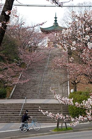 平和公園桜-3