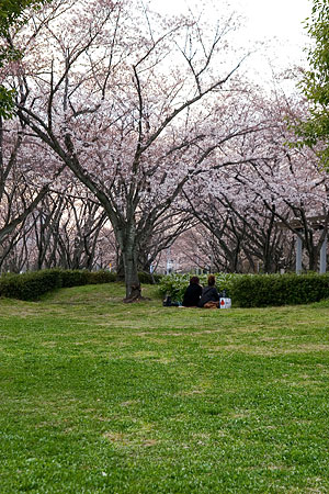 平和公園桜-7