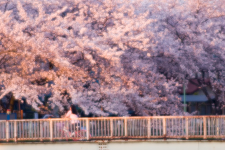香流川桜1-13