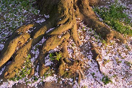 香流川桜1-9