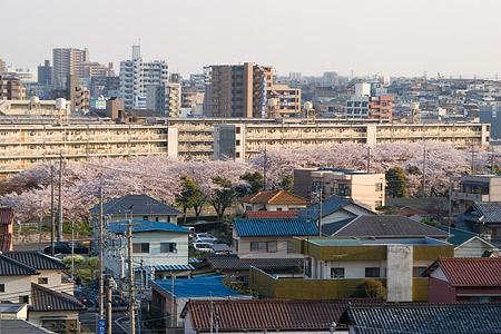 香流川桜2-1