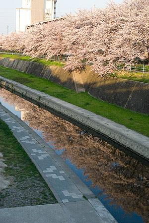 香流川桜2-4
