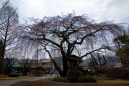 塩尻松本桜-1