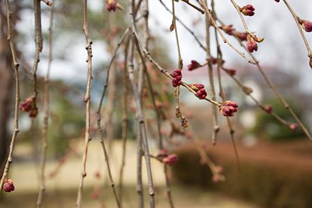 塩尻松本桜-2