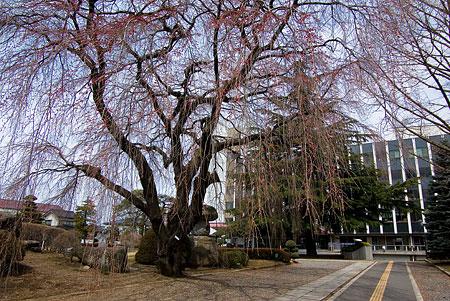 塩尻松本桜-4