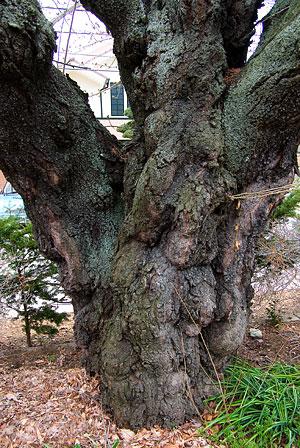 塩尻松本桜-6